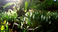 Spring Snowdrops In the Warm Sunshine video
