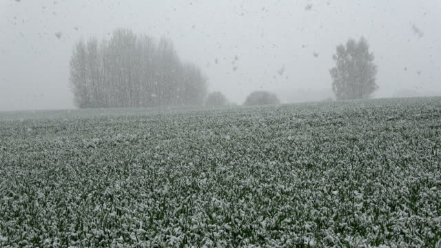 Spring snowfall on field with green wheats sprouts video