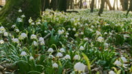 HD DOLLY: Spring Snowflakes In Forest video