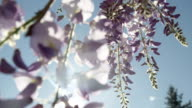 DOF SLOW MOTION CLOSE UP: Spring sun shining through beautiful wisteria flowers video