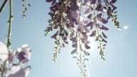 DOF SLOW MOTION CLOSE UP: Spring sun shining through blooming wisteria flowers video