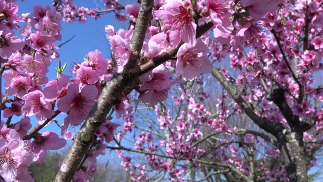 Spring, Through Pink Blossoms video