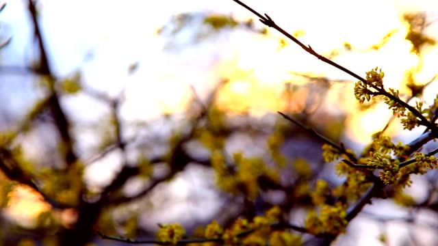 Spring time, dogwood branch blooming at sunset video