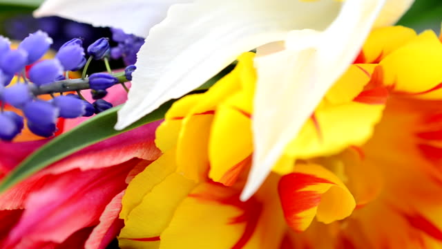 Spring tulips on a white background video