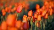 HD Spring tulips video