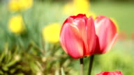 Spring tulips. video