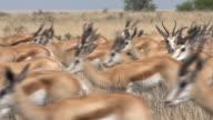 Springbok antelope herd video