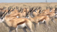 Springbok antelope herd video