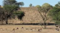 Springbok antelopes feeding video