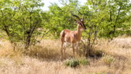 LS Springbok Gazelle In Namibian Savannah video