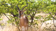MS Springbok Gazelle In Namibian Savannah video