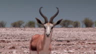 Springbok in the African Heat video