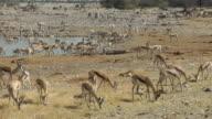 springbok video