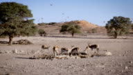Springboks and Birds at waterhole, SlowMotion video