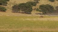 Springboks in the Kalahari Desert video