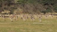 Springbok-Stampede video