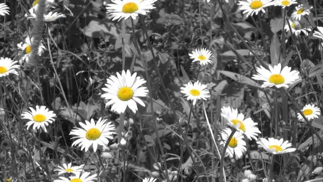 Springtime daisies. Selective Colour. video