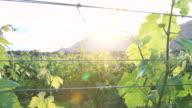 Springtime Vineyard at Sunset video