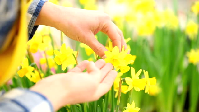 springtime, woman in garden takes care of flowers narcissus video