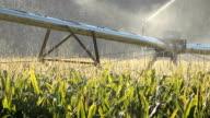 Sprinkler Irrigating Corn Field video