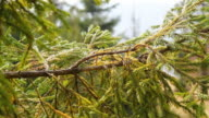 Spruce Branch Background video