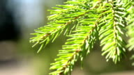 Spruce branch in the sun video