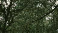 Spruce branch video
