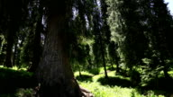 Spruce forest on top of mountains video