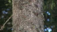 HD: Spruce stem video