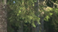 HD: Spruce tree branches video