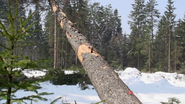 SLOW MOTION: Spruce tree falling down video