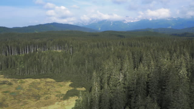 AERIAL Spruce tree forest canopy video