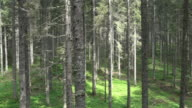 AERIAL Spruce tree forest understory layer video