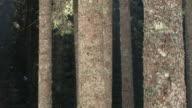 HD: Spruce tree stems video