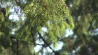 HD: Spruce tree video