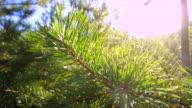 Spruce tree video