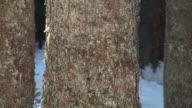 HD: Spruce trees in winter video