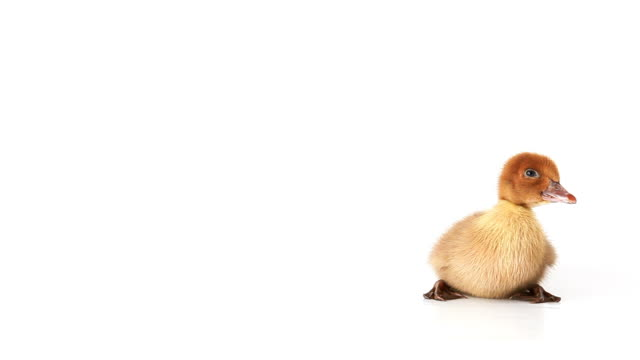 Squeaking Duckling on white background video