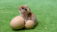 Squeaks chicken and egg video