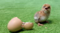 Squeaks hatched chick video