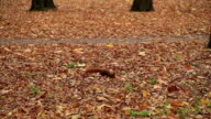 Squirrel at the Forest in Autumn video