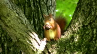 Squirrel eating a nut HD 1080i video