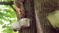Squirrel eating a nut on the maple tree video
