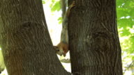 Squirrel eating a nut sitting on the maple tree video