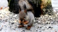 squirrel eating a peanut video