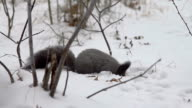 Squirrel eating food on the snow video