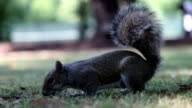 Squirrel Eating Nut video