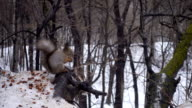 Squirrel eating nuts in snow in winter video
