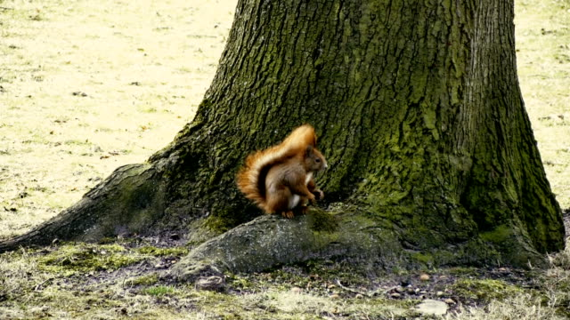 Squirrel eating nuts in the jungle. video