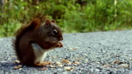 Squirrel Eating Peanuts on the Ground video